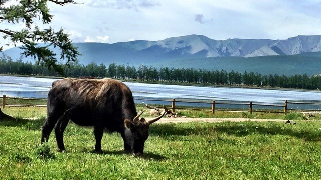Yak In Mongolia